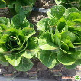 Квинтус семена салата тип Ромэн зел. дражированные (Rijk Zwaan)