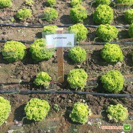 Левистро семена салата тип Лолло Бионда дражированные (Rijk Zwaan)
