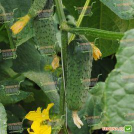 Ленара F1 семена огурца партенокарп. раннего 40 дн. 8-10 см (Rijk Zwaan)