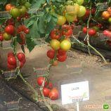 Лилос F1 семена томата индет. (Rijk Zwaan)