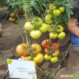 Махитос F1 семена томата индет. раннего 105-115 дн. окр. 220-260г (Rijk Zwaan)