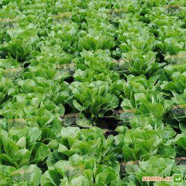 Октавиус семена салата тип Ромэн зел. дражированные (Rijk Zwaan)
