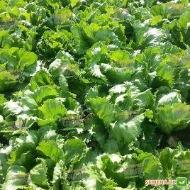 Платинас семена салата тип Айсберг зел. дражированные (Rijk Zwaan)