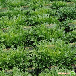 эндивий салат сигал