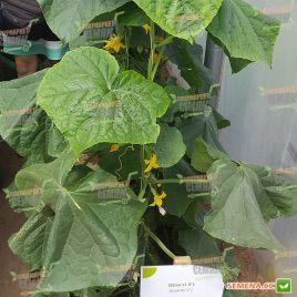 Шакти F1 семена огурца партенокарп. раннего 6-10 см (Rijk Zwaan)