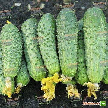 семена огурца аванс f1