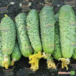 Аванс F1 (Авенсис) семена огурца партенокарп. (NongWoo Bio)