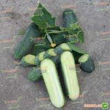 семена огурца аристократ f1