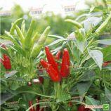 Хай Флай F1 семена перца острого (NongWoo Bio)