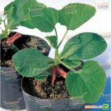 Шинтоза семена подвоя для арбуза и огурца (NongWoo Bio)