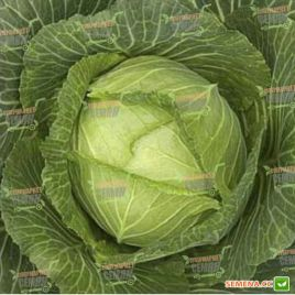 Скай Эйс F1 семена капусты б/к ранней 50-70 дн. 1-2 кг (NongWoo Bio) НЕТ СЕМЯН