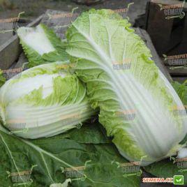 Вили F1 семена капусты пекинской ранней 45-50 дн. до 1 кг (NongWoo Bio)
