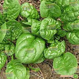 Вип семена шпината овал. (NongWoo Bio)