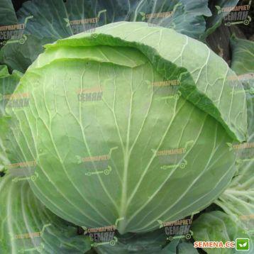 Алина F1 семена капусты б/к ранней (NongWoo Bio)