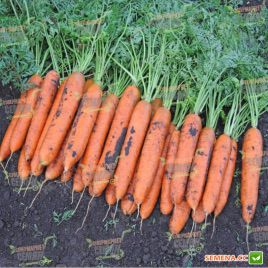 Бангор F1 семена моркови Берликум PR (2,0-2,2 мм) (Bejo)