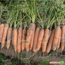 Бангор F1 семена моркови Берликум PR (2,2-2,4 мм) (Bejo)