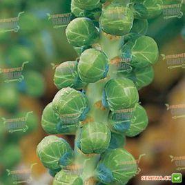 Диамант F1 (Бриллиант F1) семена капусты брюссельской средней (Hazera)