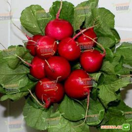 Диего F1 семена редиса (Hazera)