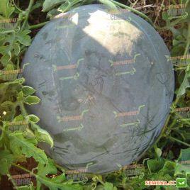 Донован F1 семена арбуза бессемянного тип Шуга Бейби раннего 70 дн. 4-8 кг окр. (Hazera)