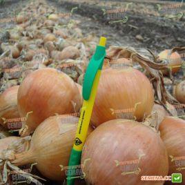 Франциско F1 семена лука репчатого среднего (Hazera)