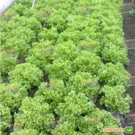 Фристина семена салата тип Фризе зел. (Hazera)