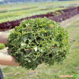 Канкан семена салата тип Фризе зел. (Hazera)
