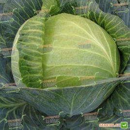 Ландини F1 семена капусты б/к средней (Hazera)