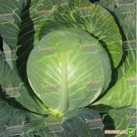 Ландини F1 семена капусты б/к средней 85-90 дн. 3-6 кг (Hazera)