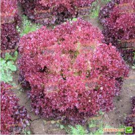 Либби семена салата тип Лолло Росса (Hazera)