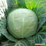 Магнус F1 семена капусты б/к ранней (Hazera)