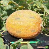 Мейрон F1 семена дыни тип Ананас ранней 70-75 дн. 2-4 кг овал. оран./бел. (Hazera)