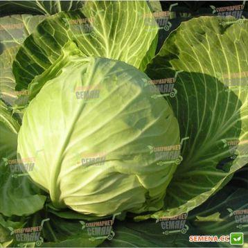Оторино F1 семена капусты б/к средней 3-5 кг (Hazera) СНЯТО С ПРОИЗВОДСТВА