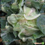 Рауль F1 семена капусты цветной (Hazera)
