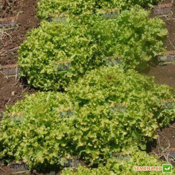 Ронали семена салата тип Дуболистый (Hazera)