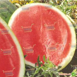 Саги F1 семена арбуза бессемянного среднего 70-75 дней 9-11 кг овал. (Hazera)