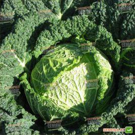 Серпантин F1 семена капусты савойской среднеранней 1-1,5 кг (Hazera)