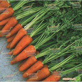 Шантане 3-Комет семена моркови Шантане (Hazera)