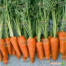 Шантане Ред Коред семена моркови Шантане 100-110 дн. (Hazera)