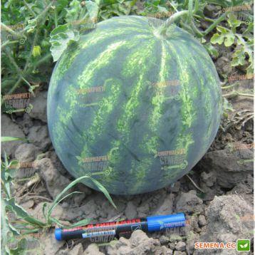 Спринтер F1 семена арбуза тип Кримсон Свит (Hazera)