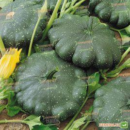 Гриндиск F1 семена патиссона темно-зеленого (Semo)