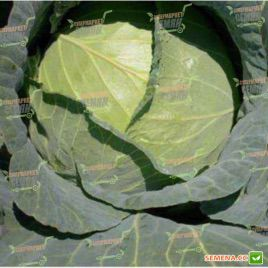 Грендслем F1 семена капусты б/к средней (Sakata)