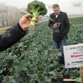 Маратон F1 семена капусты брокколи средней 80 дн. 0,35-0,6кг (Sakata)