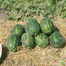 Паладин F1 семена арбуза тип Кримсон Свит (Sakata)