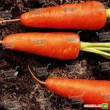 Ред Кор семена моркови тип Шантане (Sakata)