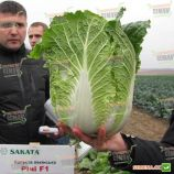 Ричи F1 семена капусты пекинской ранней 65-75 дн. 1-2,5 кг (Sakata)