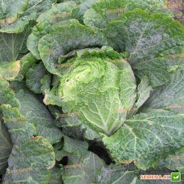 Юки F1 семена капусты пекинской ранней 65-70 дн. 1,5-2,5 кг (Sakata)