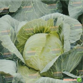AMG 2121 F1 семена капусты белокачанной (AMG)
