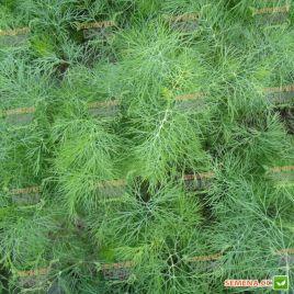 Амброзия семена укропа (Chrestensen)