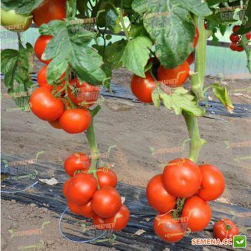 Чероки F1 семена томата индет. раннего 70 дн. окр. до 170-200 гр красный (Esasem)