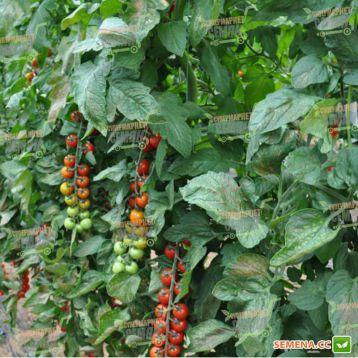 Порпора F1 семена томата индет. черри (Esasem)